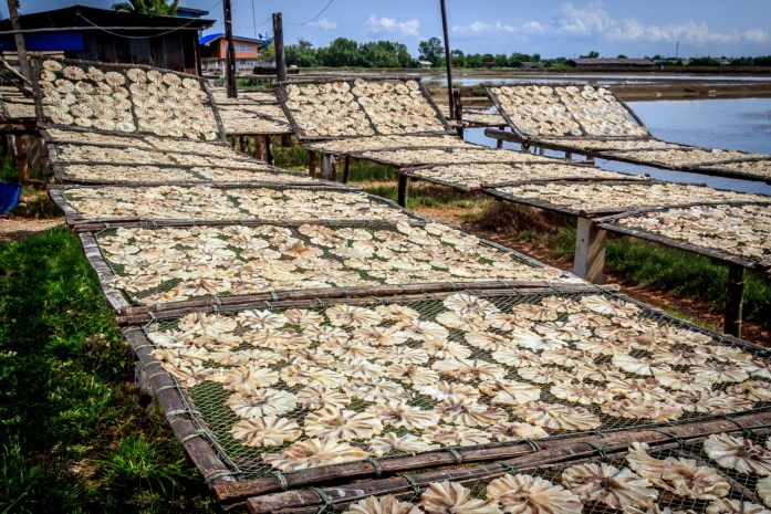 Hundreds of shellfish drying on racks in the sun by the road in Thailand