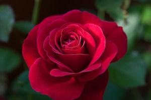 flower-1421903_640