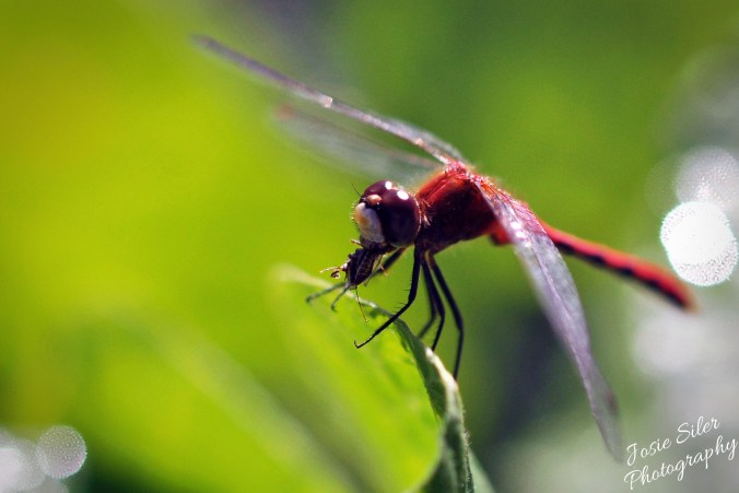 A Dragonfly's Lunch