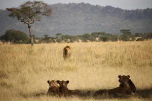 Lions on the savanna