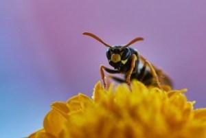 Yellowjacket on flower