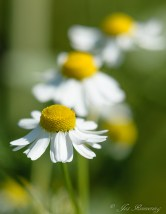 Margriet, Daisy 111