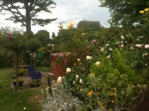 Roses responding well to their care