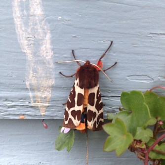 The Garden Tiger moth