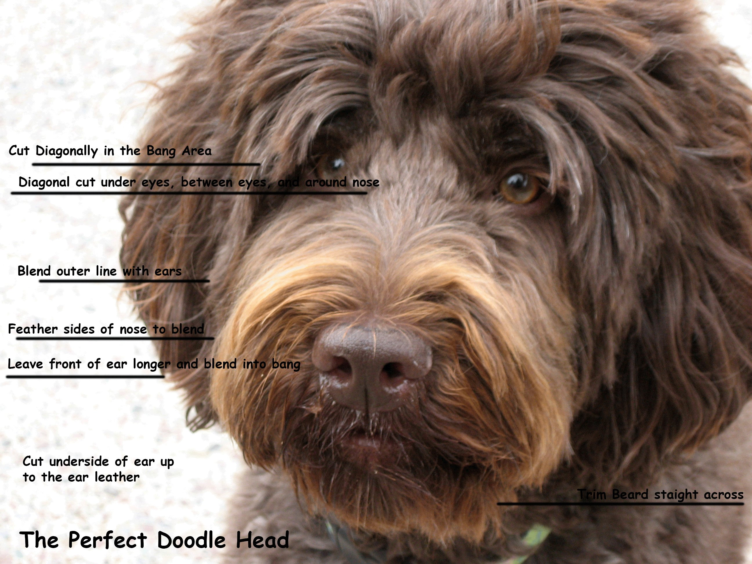 Free The 25 Best Labradoodle Haircuts Ideas On Pinterest Wallpaper