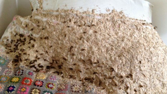 Best Giant Wasp Nest Discovered In Bedroom Cbbc Newsround With Pictures