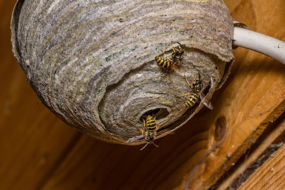 Best Wasp In My Bedroom Www Indiepedia Org With Pictures