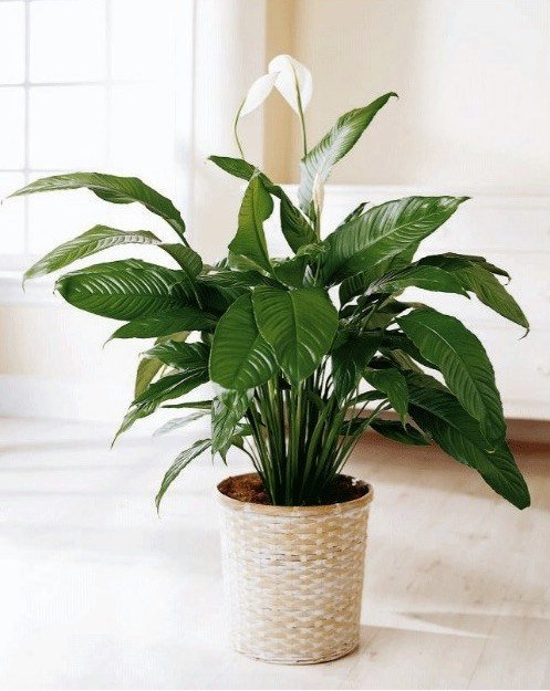 Best Good Plants For Bedroom That Promote Better Night Sleep With Pictures