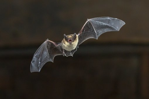 Best 'It Was Just Huge ' Bat Bites Sleeping Woman In Her With Pictures