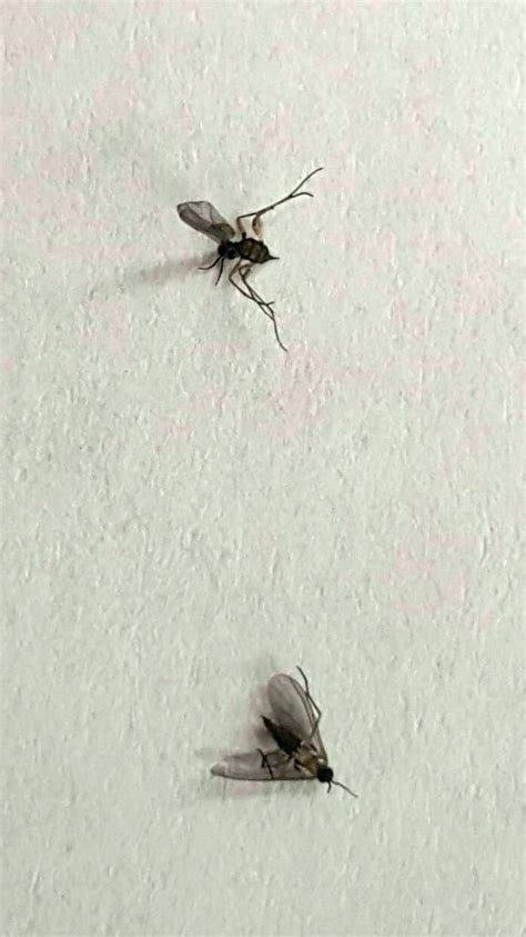 Best Flying Gnats In Bedroom Www Indiepedia Org With Pictures
