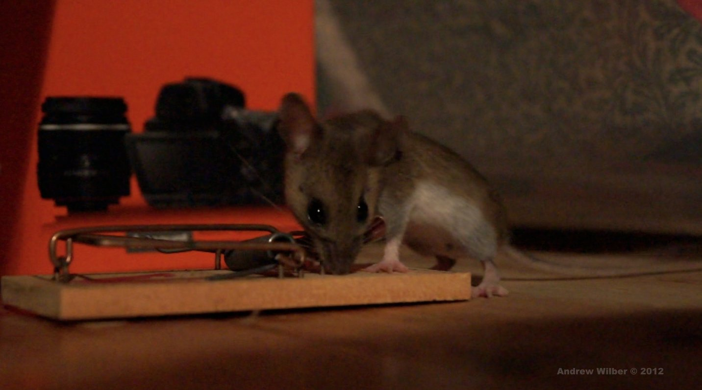 Best Andrewwilber Com The Demon Mouse In My Bedroom With Pictures
