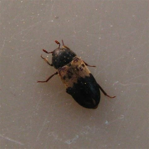 Best Bettle Larder Beetle Www E Bedbugs Com Get Rid Of With Pictures