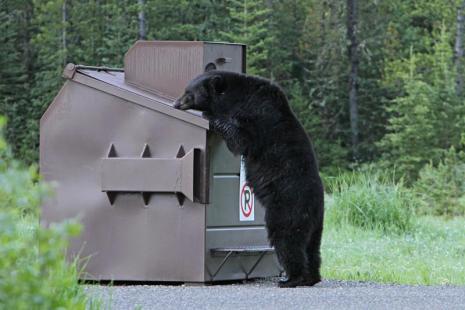 yellowstone-bear