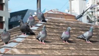 鳩をベランダから撃退