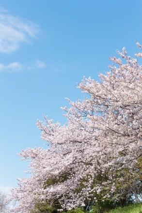 花見が嫌いな理由は?楽しみ方はないの?マラソンやウォーキングしながら桜が流行?