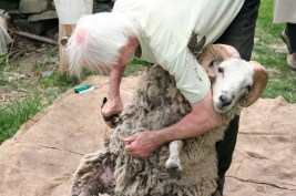A sheep will not struggle if it feels like it has no chance of righting itself, so it's a delicate process to keep the sheep feeling immobilized.