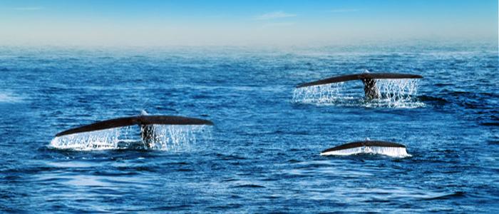Sri Lanka Whales