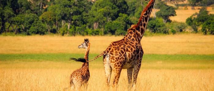 Giraffe wildlife africa