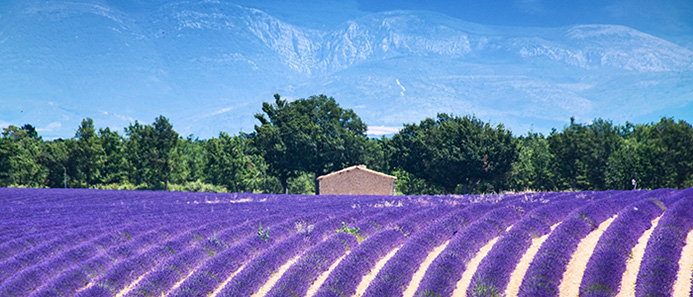 things to do in France - Lavender Fields France
