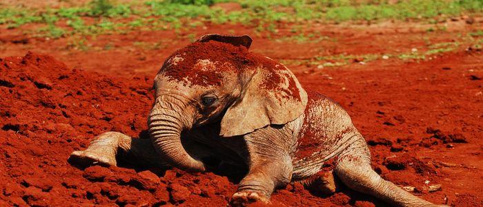 Things To Do In Kenya - Coddle Baby Elephants at Sheldrick