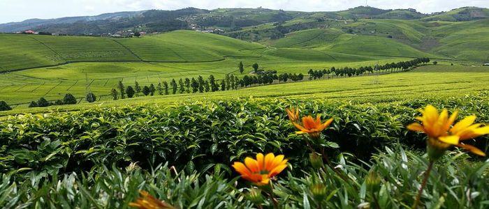 Plantation Tour in Gisovu Tea Estate