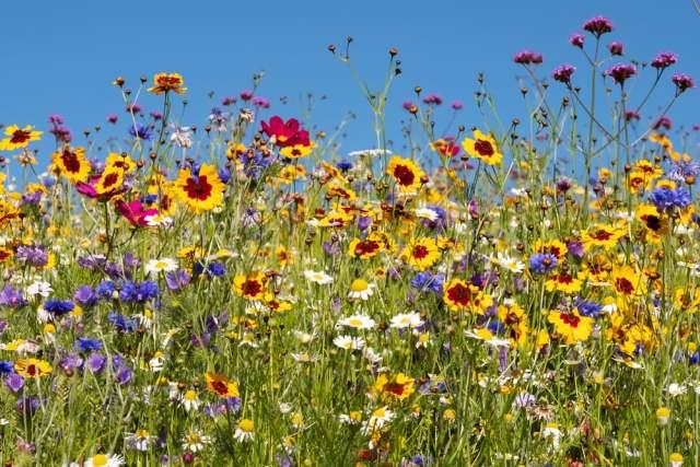 Blumenwiese (Bild: shutterstock.com/ Von Lois GoBe)