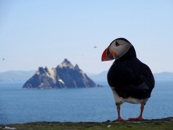 puffin with a view of little skelligs
