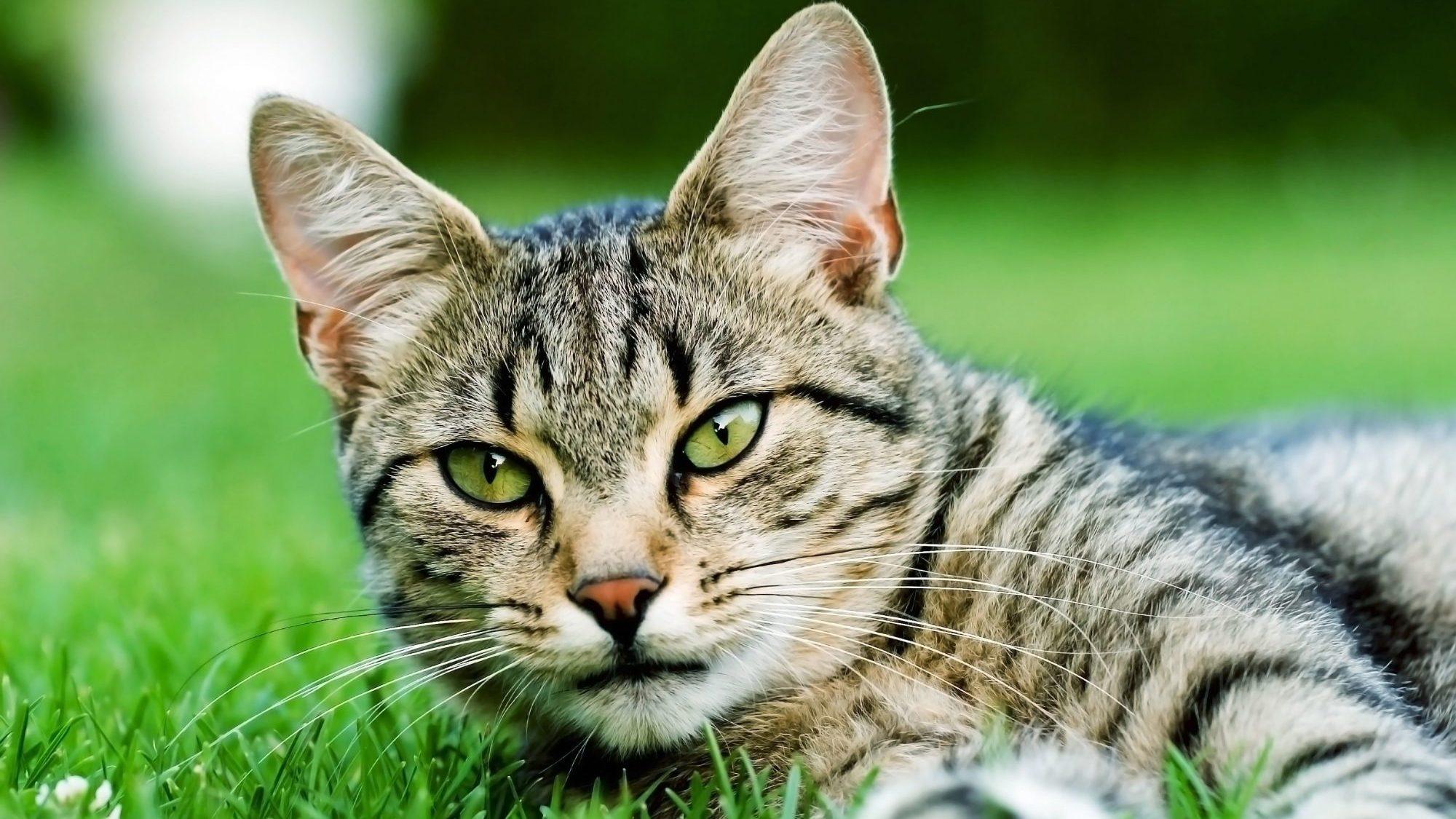 Contrôler la population de chats errants à Saint-Léonard
