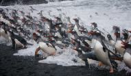 Rafts of gentoo penguins return to Johnson Cove on Bird Island every night throughout the year. (photo Mick Mackey).