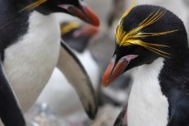 A pair of macaroni penguins bow to each other at their nest site. Bowing is often followed by an ecstatic display of loud braying. (photo Cat Horswill).
