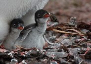 A pair of newly hatched gentoo chicks on Landing Beach, Bird Island. Each pair of gentoo penguins will hatch one or two chicks. (photo Cat Horswill).