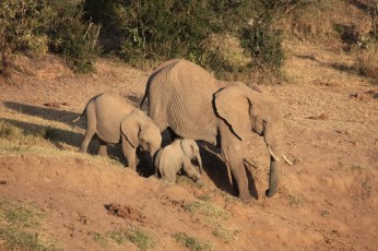 A young elephant nudges a reluctant younger elephant down a slope to drink at the river