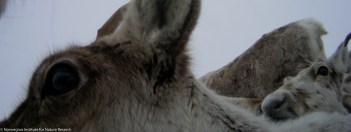 In the coldest winter days, a tight proximity within the herd increases thermal insulation. Photo: wild reindeer.
