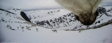In Hardangervidda National Park, herd size can count up to several thousand reindeer. Here the herd is migrating towards the calving ground. Photo: wild reindeer.