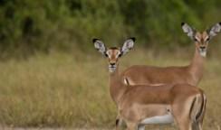 Two Impala