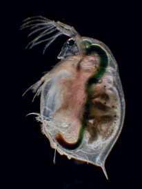 IN FOCUS PAPER This paper demonstrates that global warming and size-selective predation risk can independently shape Daphnia magna body stoichiometry, which are largely driven by changes in energy storage molecules. Also, the trade-offs between energy storage and rapid development and the increased investment in fecundity under size-selective predation could explain deviations from ecological stoichiometry predictions. Photo credit: Joachim Mergeay. Chao Zhang et al. http://dx.doi.org/10.1111/1365-2656.12573 In Focus by Shawn M. Wilder and Punidan D. Jeyasingh http://dx.doi.org/10.1111/1365-2656.12573