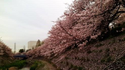 Sakura in Nagoya