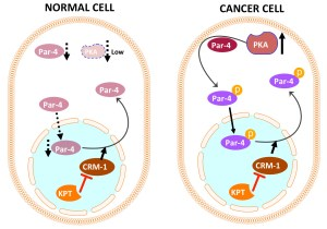 In cancer cells, increased levels of protein kinase A (PKA) lead to Par-4 phosphorylation (p-Par-4) and nuclear localization. However, the increased levels of CRM-1 then pump Par-4 out of the nucleus. SINEs such as KPTs inhibit CRM-1, leading to nuclear retention of p-Par-4 and apoptosis. In normal cells, levels of PKA and Par-4 are too low for KPTs to induce cell death.