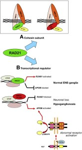 (A) RAD21 belongs to the cohesin complex, which regulates chromosomal replication. RAD21 p.622Thr does not alter SMC1A subunit binding. (B) Wild-type RAD21 promotes RUNX1 and represses APOB expression. RAD21 p.622Thr down-regulates RUNX1 expression, de-represses APOB expression, leading to loss of enteric neurons and hypoganglionosis. Alternative pathways include RET activation, which can lead to APOB overexpression and hypoganglionosis.