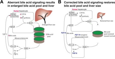 (A) Aberrant signaling perturbs bile acid homeostasis when transplanted human hepatocytes fail to recognize Fgf15, the mouse intestinal signal for inhibiting bile acid synthesis in the liver. This leads to an enlarged bile acid pool and an increase in the hepatocyte mass needed to circulate the pool. (B) Expression of FGF19 allows transplanted human hepatocytes to properly regulate bile acid synthesis and normalize the bile acid pool. Hepatocytes are reduced in proportional to the bile acid pool to be circulated.