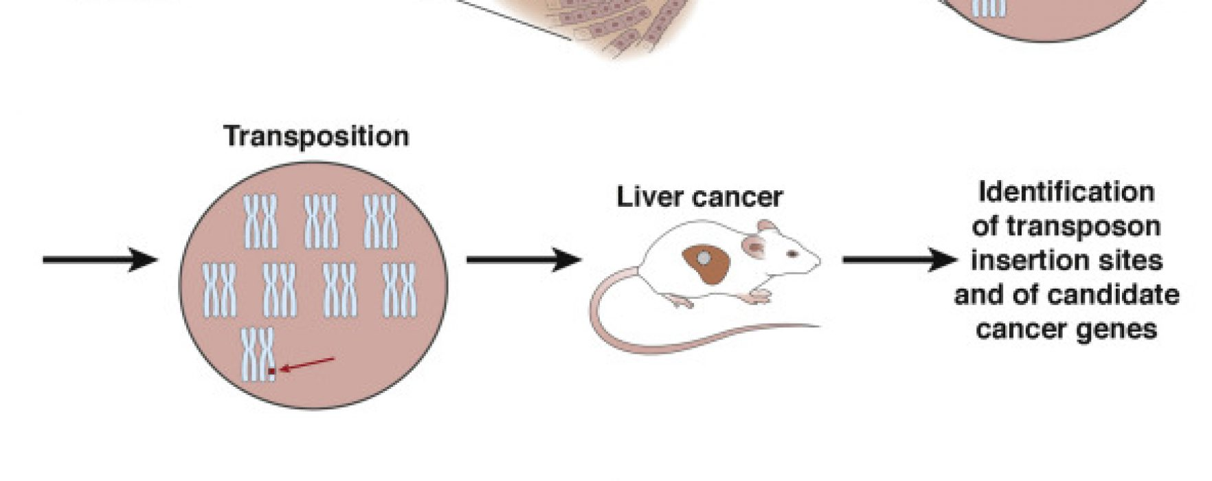 A Forward Genetic Screen Identifies Suppressors of Hepatocellular Carcinogenesis