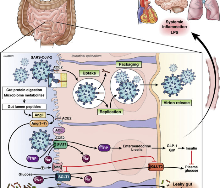 How Does SARS-CoV-2 Binding to ACE2 Alter the Gut to Promote Systemic Inflammation?