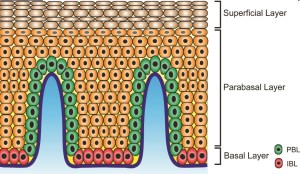 The normal squamous esophageal epithelium. The  interpapillary basal layer is red, the papillary basal layer is green, the parabasal layer is orange, and the superficial layer is brown.