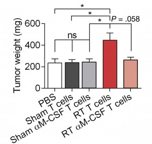 C57BL/6 mice were given subcutaneous injections of KPC-derived tumor cells plus saline, KPC cells plus T cells collected from unirradiated KPC-derived PDA, KPC cells plus T cells collected from PDAs exposed to anti-MCSF, KPC cells plus T cells collected from PDA exposed to radiation, or KPC cells plus T cells collected from mice exposed to radiation and given anti-MCSF. The subcutaneous tumors were weighed at day 17.
