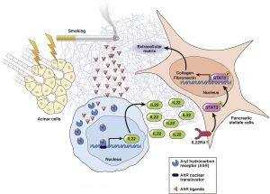 Cigarette smoke promotes pancreatic fibrosis and deposition of ECM proteins during development of CP. Cigarette smoke contains AHR ligands such as dioxin and benzo(a)pyrene. During acinar cell damage, CD4+ T cells are recruited to sites of injury, and the AHR ligands in the pancreas of smokers interact with receptors to up-regulate production of IL22 by CD4+ T cells. IL22 is secreted and interacts with IL22RA1 on pancreatic stellate cells. The activation of IL22RA1 phosphorylates STAT3, resulting in its nuclear translocation and up-regulation of ECM proteins such as collagen 1A1 and fibronectin 1. The increased deposition of ECM proteins progressively replaces pancreatic parenchyma during development of fibrosis.