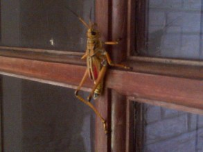 Invasion of the Mutant Crickets