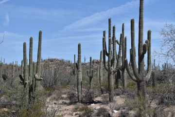 Grove of Saguaro