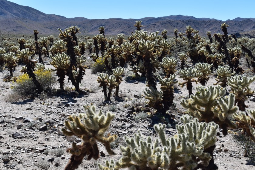 Cholla-Cactus-1-1024x682 Joshua Tree National Park: Rock Piles and Joshua Trees