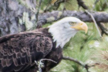 Bald Eagle Leaning Forward