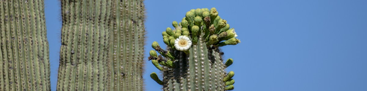 Saguaro National Park: Icon of the America West